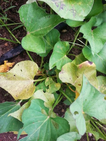 Name:  sweetpotato.jpg Views: 7156 Size:  50.8 KB