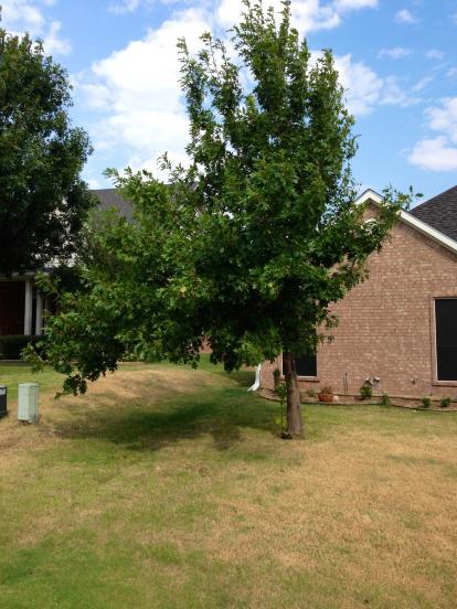 Oak Tree Pruning Doityourself Com Community Forums