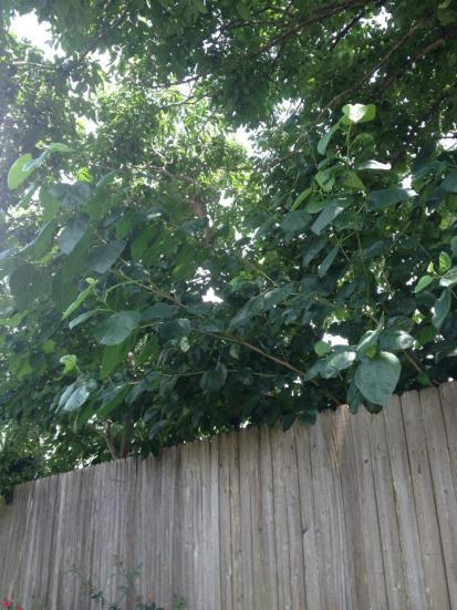 Name:  weed trees1.jpg Views: 217 Size:  50.9 KB