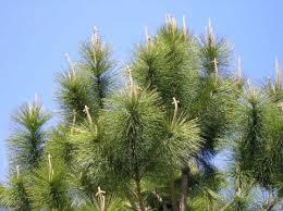 Name:  pine.jpg Views: 66 Size:  10.6 KB