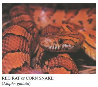 Name:  red rat snake.jpg Views: 157 Size:  16.7 KB