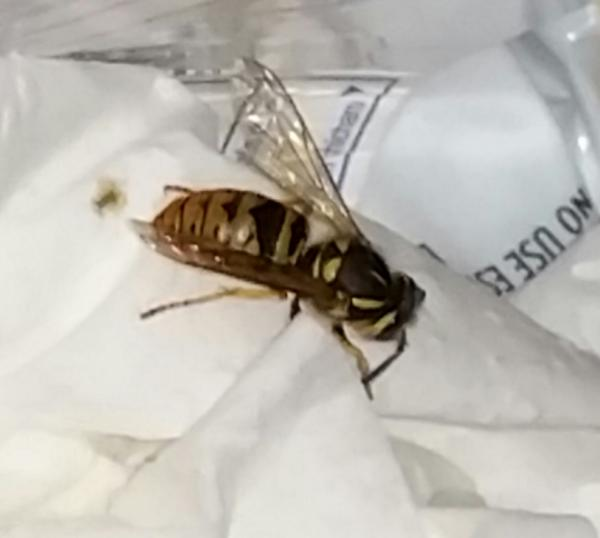 Dying wasps in apartment - DoItYourself com Community Forums