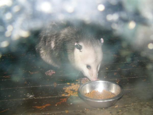 Name:  possum.jpg Views: 245 Size:  26.9 KB