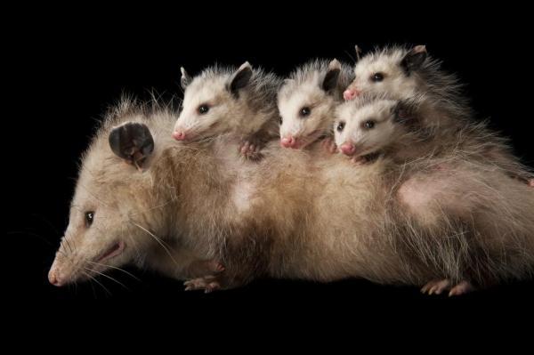 Name:  opossums.jpg Views: 210 Size:  25.0 KB