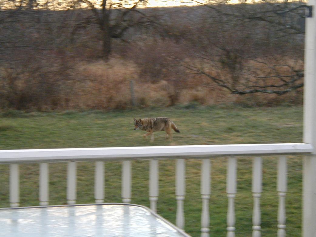 Name:  Coyote.jpg Views: 164 Size:  92.8 KB