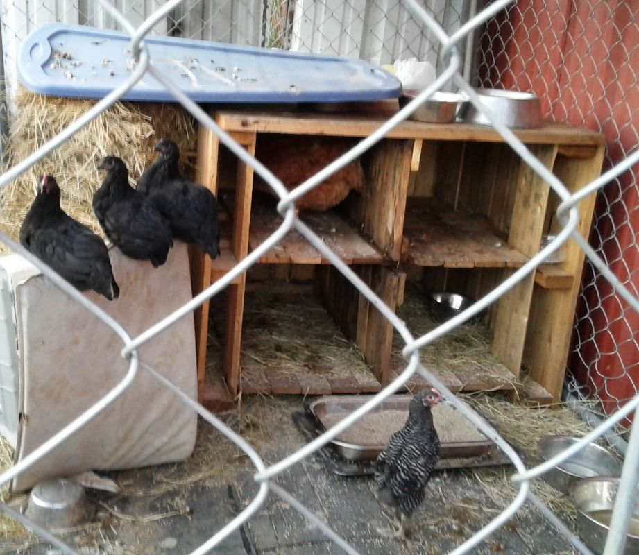 Chicken Coop with Shipping Pallets and Planks