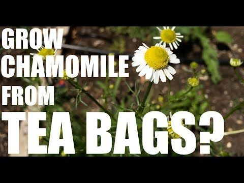 How to Grow Your Own Chamomile for Mere Pennies
